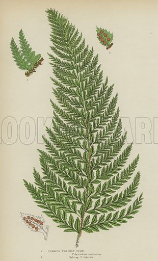 Common Prickly Fern. Illustration for The Flowering Plants, Grasses, Sedges and Ferns of Great Britain by Anne Pratt (new edn, Frederick Warne, 1905).