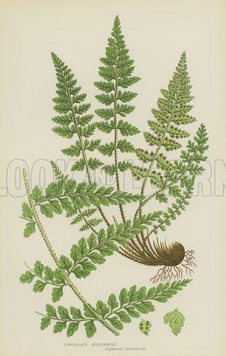 Lanceolate Spleenwort. Illustration for The Flowering Plants, Grasses, Sedges and Ferns of Great Britain by Anne Pratt (new edn, Frederick Warne, 1905).