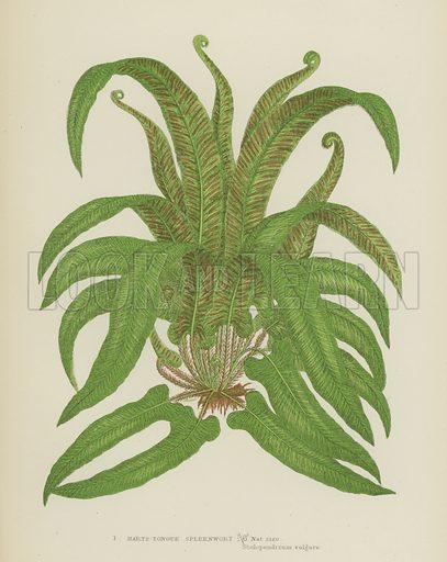 Harts-Tongue Spleenwort. Illustration for The Flowering Plants, Grasses, Sedges and Ferns of Great Britain by Anne Pratt (new edn, Frederick Warne, 1905).