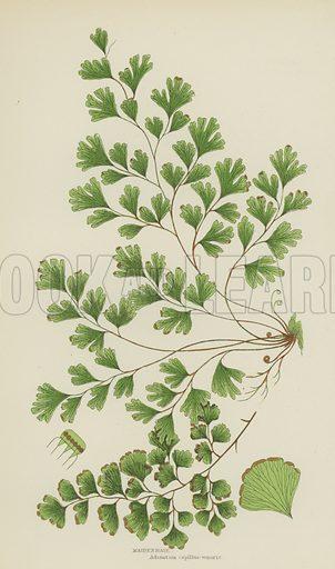 Maidenhair. Illustration for The Flowering Plants, Grasses, Sedges and Ferns of Great Britain by Anne Pratt (new edn, Frederick Warne, 1905).