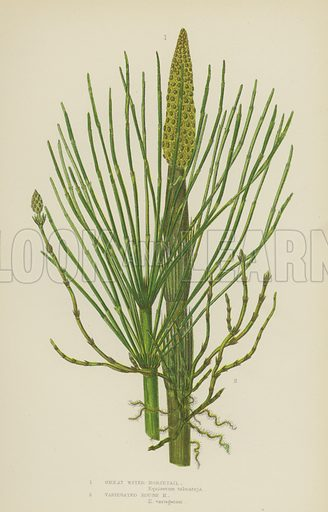 Great Water-Horsetail, Variegated Rough Horsetail. Illustration for The Flowering Plants, Grasses, Sedges and Ferns of Great Britain by Anne Pratt (new edn, Frederick Warne, 1905).
