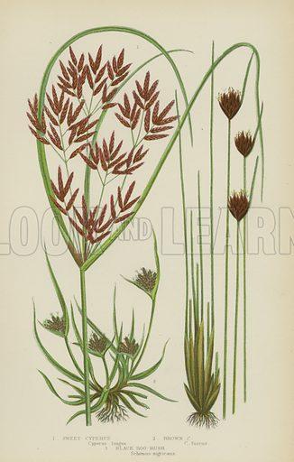 Sweet Cyperus, Brown Cyperus, Black Bog-Rush. Illustration for The Flowering Plants, Grasses, Sedges and Ferns of Great Britain by Anne Pratt (new edn, Frederick Warne, 1905).