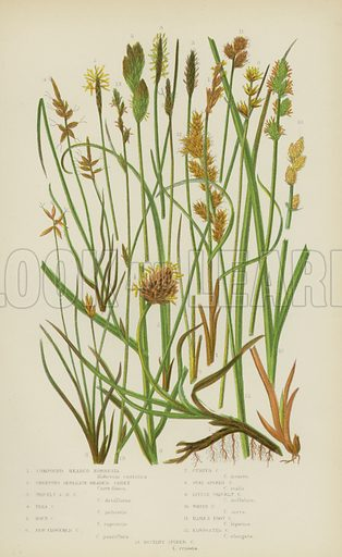 Compound Headed Kobresia, Creeping Separate-Headed Carex, Prickly Separate-Headed Carex, Flea Carex, Rock Carex, Few Flowered Carex, Curved Carex, Oval Spiked Carex, Little Prickly Carex, White Carex, Hare's Foot Carex, Elongated Carex, Distant Spiked Carex. Illustration for The Flowering Plants, Grasses, Sedges and Ferns of Great Britain by Anne Pratt (new edn, Frederick Warne, 1905).