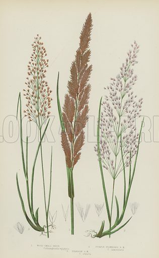Wood Small Reed, Purple Flowered Small Reed, Narrow Small Reed. Illustration for The Flowering Plants, Grasses, Sedges and Ferns of Great Britain by Anne Pratt (new edn, Frederick Warne, 1905).