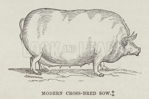 Modern cross-bred sow. Illustration for The History of Progress in Great Britain by Robert Kemp Philp (Houlston and Wright, 1859).