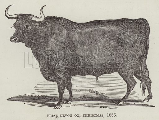 Prize Devon ox, Christmas, 1856. Illustration for The History of Progress in Great Britain by Robert Kemp Philp (Houlston and Wright, 1859).
