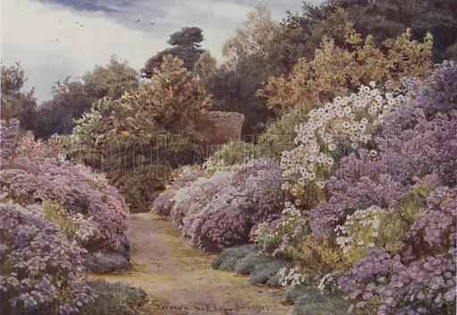 Michaelmas Daisies, Munstead Wood
