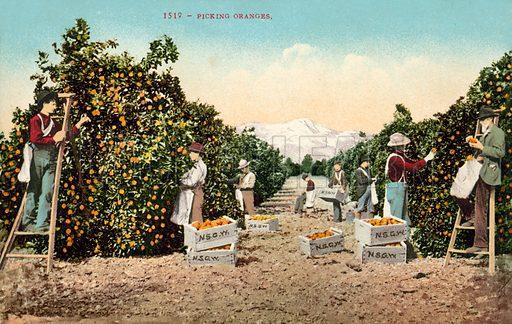 Picking oranges, USA.  Postcard, early 20th century.