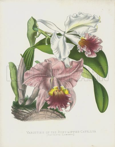 Varieties of the Ruby-Lipped Cattleya, Cattleya Labiata. Stove Epiphytes, Natives of the Caraccas, belonging to the Order of Orchids. Illustration for Paxton's Flower Garden by Professor Lindley and Sir Joseph Paxton revised by Thomas Baines (Cassell, 1882).