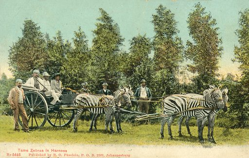 Zebras in harness, South Africa