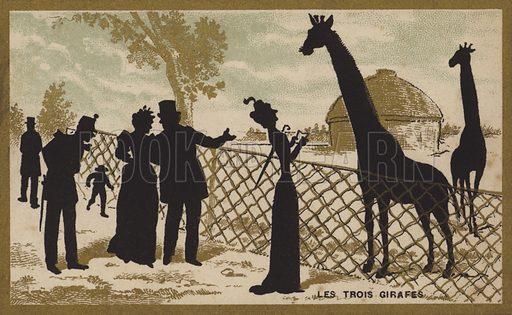 The three giraffes