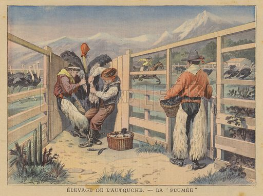 Ostrich farming: plucking the feathers