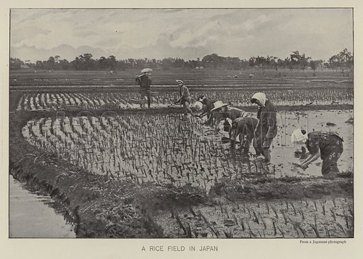 A rice field in Japan. Illustration for The Practical Grocer by WH Simmonds (Gresham, 1906).