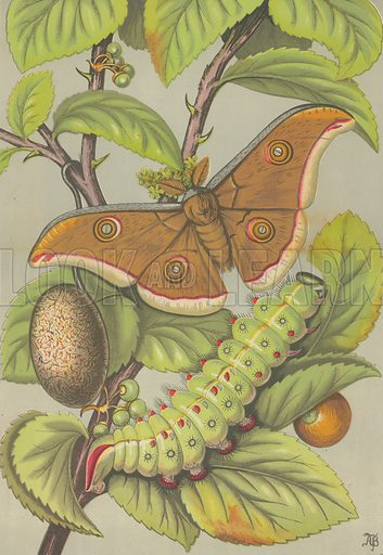 The Tussar silkworm of India. Illustration for Nature and Art (Day & Son, 1866).