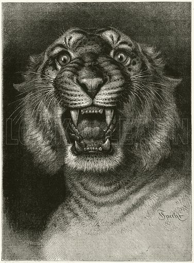 Man-eating tiger. Illustration for The Boy's Own Annual, 1881.