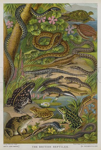 British reptiles. Illustration for The Boy's Own Annual, 1881.