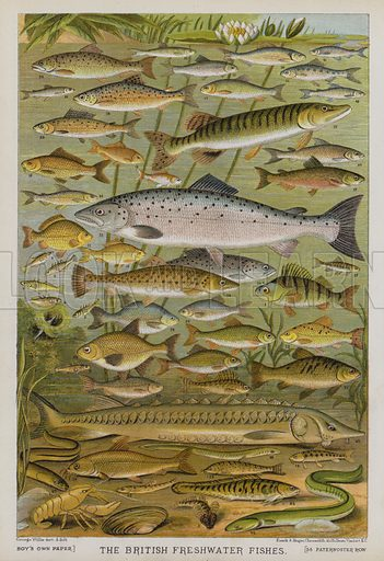 British Freshwater Fishes. Illustration for The Boy's Own Annual, 1881.