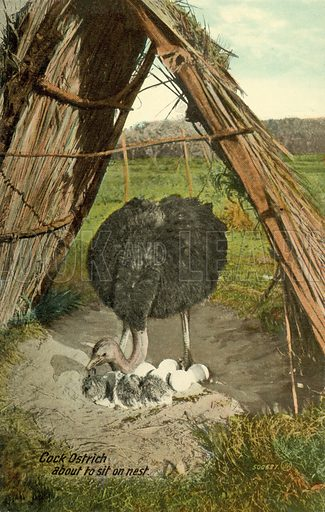 Cock Ostrich about to sit on nest