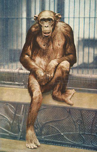 Chimpanzee at zoo