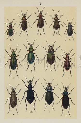 Illustration for The Young Beetle-Collector's Handbook by Dr E Hofmann (Swan Sonnenschein, 1897).