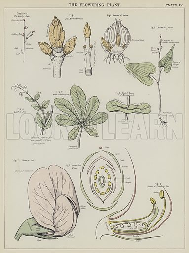 The flowering plant. Illustration for Biological Atlas by D M'Alpine and A N M'Alpine (W & A K Johnston, 1881).