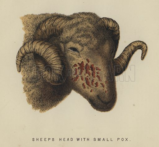 Sheep's head with small pox. Illustration for Modern Practical Farriery by W J Miles (Gresham, 1899).