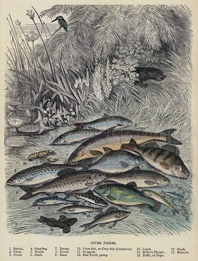 River Fishes. Illustration for Cassell's Popular Natural History (c 1880).