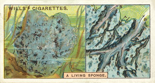 "A living sponge. Illustration for one of a series of cigarette cards on the subject of ""Do You Know"" published by Wills's Cigarettes, early 20th century."