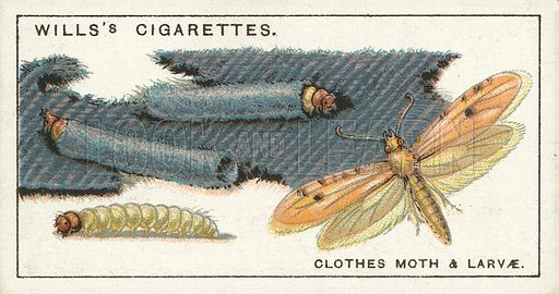 "Clothes Moth and larvae. Illustration for one of a series of cigarette cards on the subject of ""Do You Know"" published by Wills's Cigarettes, early 20th century."