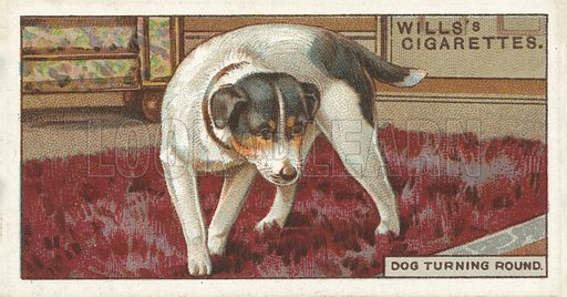 "Dog turning round. Illustration for one of a series of cigarette cards on the subject of ""Do You Know"" published by Wills's Cigarettes, early 20th century."
