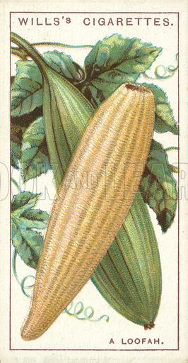 """A Loofah. Illustration for one of a series of cigarette cards on the subject of """"Do You Know"""" published by Wills's Cigarettes, early 20th century."""