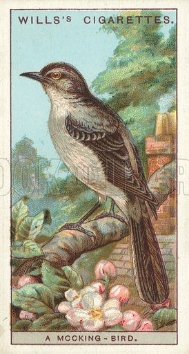 """A Mocking-Bird. Illustration for one of a series of cigarette cards on the subject of """"Do You Know"""" published by Wills's Cigarettes, early 20th century."""