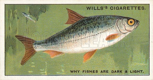 "Why Fishes are dark and light. Illustration for one of a series of cigarette cards on the subject of ""Do You Know"" published by Wills's Cigarettes, early 20th century."