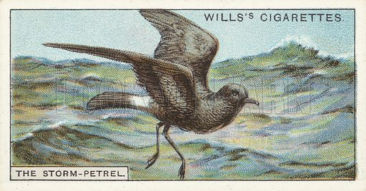 "The Storm-Petrel. Illustration for one of a series of cigarette cards on the subject of ""Do You Know"" published by Wills's Cigarettes, early 20th century."
