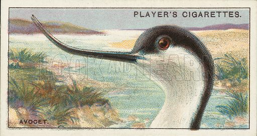 The Avocet, Recurvirostra avocetta. Illustration for one of a series of cigarette cards on the subject of Curious Beaks, published by John Player, early 20th century.