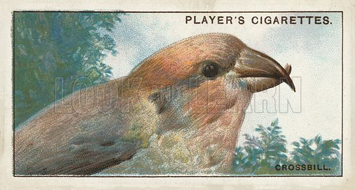 The Crossbill, Loxia curvirostra. Illustration for one of a series of cigarette cards on the subject of Curious Beaks, published by John Player, early 20th century.