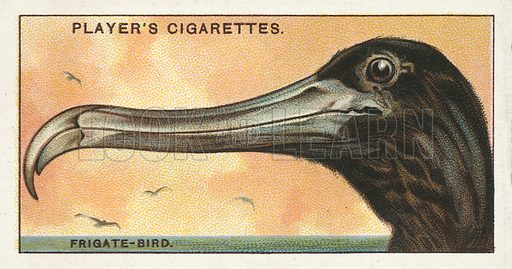 The Frigate-Bird, Fregata aquila. Illustration for one of a series of cigarette cards on the subject of Curious Beaks, published by John Player, early 20th century.