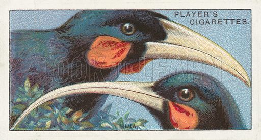 The Huia, Heteralocha gouldi. Illustration for one of a series of cigarette cards on the subject of Curious Beaks, published by John Player, early 20th century.