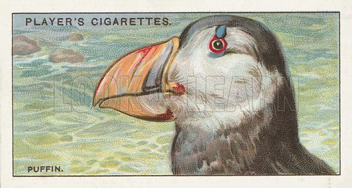The Puffin, Fratercula arctica. Illustration for one of a series of cigarette cards on the subject of Curious Beaks, published by John Player, early 20th century.