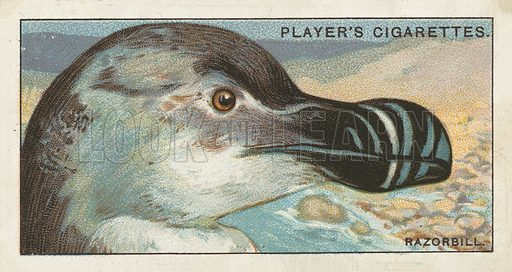 The Razorbill, Alca torda. Illustration for one of a series of cigarette cards on the subject of Curious Beaks, published by John Player, early 20th century.