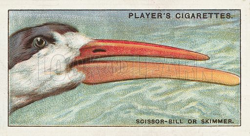 The Scissor-bill or Skimmer, Rhynchops flavirostris. Illustration for one of a series of cigarette cards on the subject of Curious Beaks, published by John Player, early 20th century.