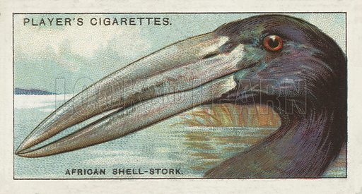 The African Shell-Stork, Anastomus lamelligerus. Illustration for one of a series of cigarette cards on the subject of Curious Beaks, published by John Player, early 20th century.