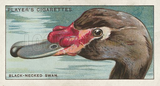 The Black-necked Swan, Cygnus nigricollis. Illustration for one of a series of cigarette cards on the subject of Curious Beaks, published by John Player, early 20th century.