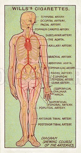 Diagram shewing course of the arteries. Illustration for one of a series of cigarette cards on the subject of First Aid published by Wills's Cigarettes, early 20th century.