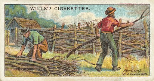 Fencing a Selection. Illustration for one of a series of cigarette cards on the subject of Overseas Dominions, Australia published by Wills