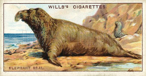 The Elephant Seal, which inflates its trunk like a toy-balloon. Illustration for one of a series of cigarette cards on the subject of Wonders of the Sea published by Wills's Cigarettes, early 20th century.