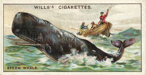 The Sperm Whale, which is sometimes found in British waters. Illustration for one of a series of cigarette cards on the subject of Wonders of the Sea published by Wills's Cigarettes, early 20th century.