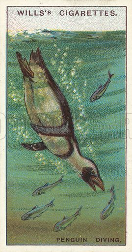 A Penguin Diving, a bird which walks and swims, but cannot fly. Illustration for one of a series of cigarette cards on the subject of Wonders of the Sea published by Wills's Cigarettes, early 20th century.