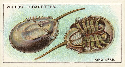 The King Crab, a strange link with the remote past. Illustration for one of a series of cigarette cards on the subject of Wonders of the Sea published by Wills's Cigarettes, early 20th century.