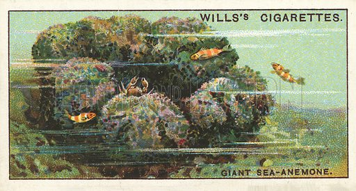 A Giant Sea-Anemone, which affords shelter to fishes and crabs. Illustration for one of a series of cigarette cards on the subject of Wonders of the Sea published by Wills's Cigarettes, early 20th century.